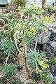 Kleinia neriifolia - Brooklyn Botanic Garden - Brooklyn, NY - DSC08112.JPG
