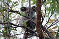 Koala, Magnetic Island National Park (15960056387).jpg