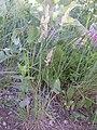 Koeleria macrantha (3880456522).jpg