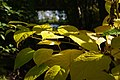 Korina 2013-10-19 Fallopia japonica 12.jpg