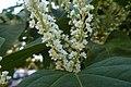 Korina 2014-09-09 Fallopia japonica 6.jpg