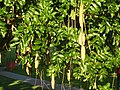 Kp Sausage tree fruits IMG 8792 (2214366320).jpg