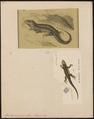 Lacerta vivipara - 1700-1880 - Print - Iconographia Zoologica - Special Collections University of Amsterdam - UBA01 IZ11400245.tif