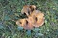 Lactarius scrobicolatus Grubiger Milchling Bula Gherdëina.jpg