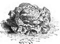 Laitue rousse hollandaise Vilmorin-Andrieux 1883.png