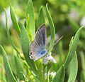 Lampides boeticus - 1כחליל האפון.jpg