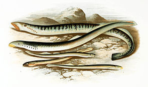 Meerneunauge (oben), Flussneunauge (Mitte) und Bachneunaugen (unten)
