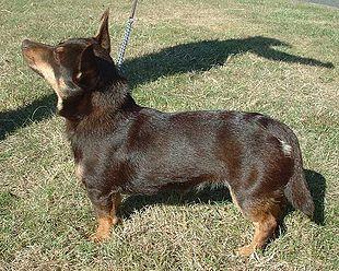 Lancashire Heeler at a dog show.