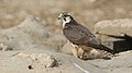 Lanner falcon, Falco biarmicus, at Kgalagadi Transfrontier Park, Northern Cape, South Africa (34447027101).jpg