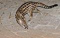Large-spotted Genet (Genetta tigrina) (17356753655).jpg