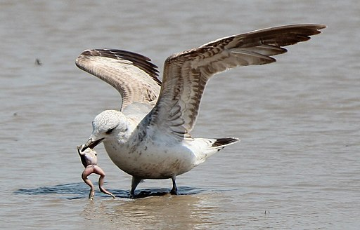 Larus canus eating frog