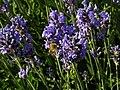 Lavendula - Lavendel mit Biene II.jpg