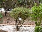 Lawsonia inermis 0001.jpg