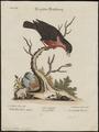 Leïstes militaris - 1700-1880 - Print - Iconographia Zoologica - Special Collections University of Amsterdam - UBA01 IZ15800265.tif