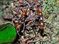 Leaf-cutter Ant (Atta cephalotes) (6782922753).jpg