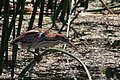 Least Bittern Anahuac NWR-Shoveler Loop TX 2018-04-24 13-20-56 (42013079772).jpg