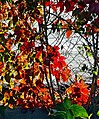 Leaves on Fence, Oak Glen, CA 10-13 (15734314436).jpg