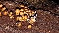 Leocarpus fragilis 59785080.jpg