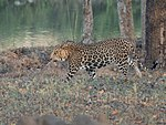 Leopard-1 (32266364711).jpg
