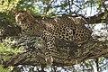 Leopard (10829578893).jpg
