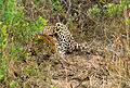 Leopard 006.jpg