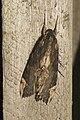 Lepidoptera (15854244617).jpg