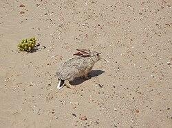 Lepus capensis Kolmannskuppe 2014 (1).jpg