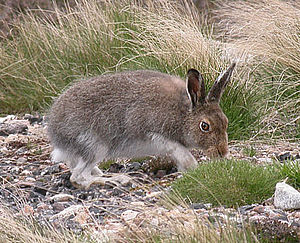 Mountain hare - Mountain hare in its summer pelage