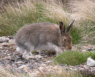 Mountain hare species of mammal