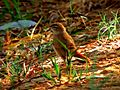 Les oiseau de Siwa - panoramio.jpg