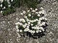 Leucanthemopsis alpina004.jpg