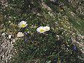 Leucanthemum atratum.jpg