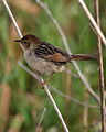 Levaillant's Cisticola, Cisticola tinniens at Marievale Nature Reserve, South Africa (24292963845).jpg