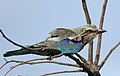 Lilac-breasted Roller, Coracias caudatus, at Elephant Sands Lodge, Botswana (31437458103).jpg