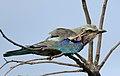 Lilac-breasted Roller, Coracias caudatus, at Elephant Sands Lodge, Botswana (31437458103).jpg