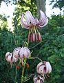 Lilium-martagon-flower.JPG