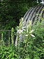 Lilium candidum (14432382163).jpg