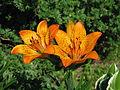 Lilium dauricum 2009-06-29.jpg