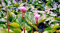 Lillies blooming in rains.jpg