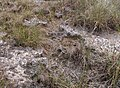 Limestone at Pa-hay-okee in the Everglades^ - panoramio.jpg