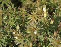 Limnophila sessiliflora (Asian Ambulia) in Hyderabad, AP W IMG 1429.jpg
