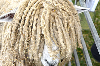 Lincoln sheep - A Lincoln Longwool