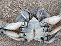Liocarcinus vernalis 106974237.jpg