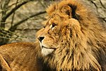 Lion - Linton Zoo (16273789923).jpg