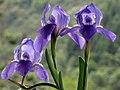 Lirio morado - Lirio común - Cárdeno (Iris germanica) (14300433695).jpg