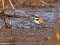 Little Ringed Plover (Charadrius dubius) (38693311955).jpg
