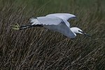 Little egret (Egretta garzetta) in flight.jpg