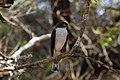 Little sparrowhawk (Accipiter minullus) 01.jpg
