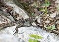 Lizard - Annapurna Circuit, Nepal - panoramio.jpg