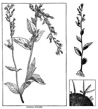 Samuel Thomson - Lobelia plant, found in a biographical book about Thomson's work